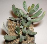 adromischus filicaulis Jar 97