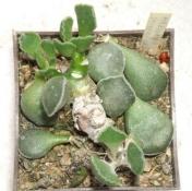 adromischus marianiae imaculatus