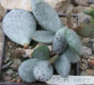 adromischus alstonii sp /A HART/