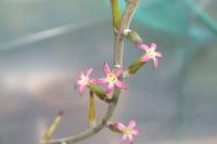 addromischus-triflorus-vergelegen-kvet-2