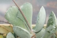 addromischus-triflorus-vergelzgen-blesk