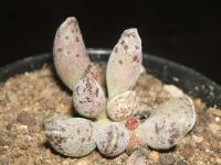 adromischus mamillaris/Buffelsport/