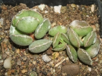 adromischus-cristatus-dt-4777