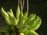 adromischus cristatus clavifolius