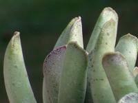adromischus cristatus sp - JIL296, 6 Km SWS of Dysserdorp