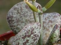 adromischus bicolor - Sandpoort