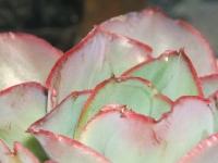 echeveria subrigida sp. Pinal