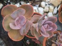 echeveria gibbifloraf metalica