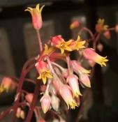 echeveria-agavoides-2-kvet