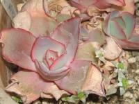echeveria-cv-pink