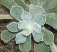 echeveria-pulvinata-frosty