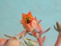 Echeveria subrigida sp. Pinal Amoles dscf8947
