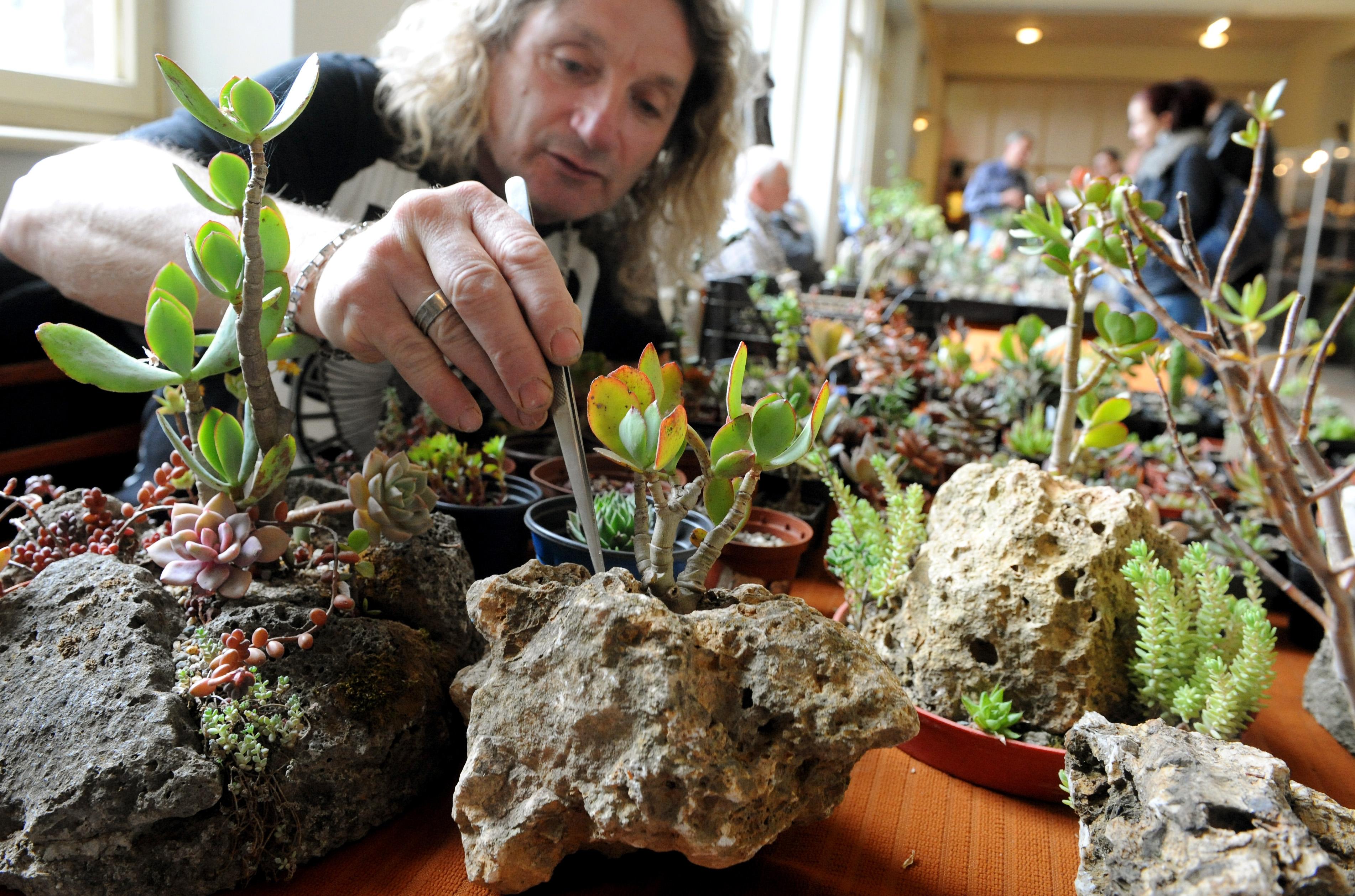 Botanická záhrada UPJŠ v Košiciach v spolupráci s Klubom kaktusárov otvorila 20. apríla 2012 výstavu Kaktusy a sukulenty. Výstava rastlín pochádzajúcich z púští Mexika, Južnej Ameriky a Afriky je spojená s predajom. FOTO TASR – František Iván