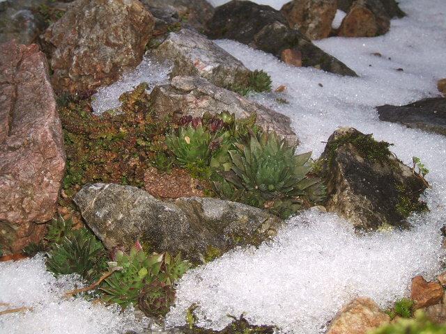 jovibarby v zime