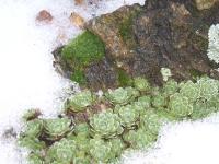saxifraga paniculata brefiloia