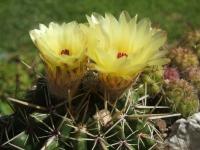 notocactus submamolusus