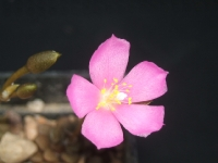 kvet anacampserosu...