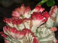 euphorbia-lactea-cristata-2