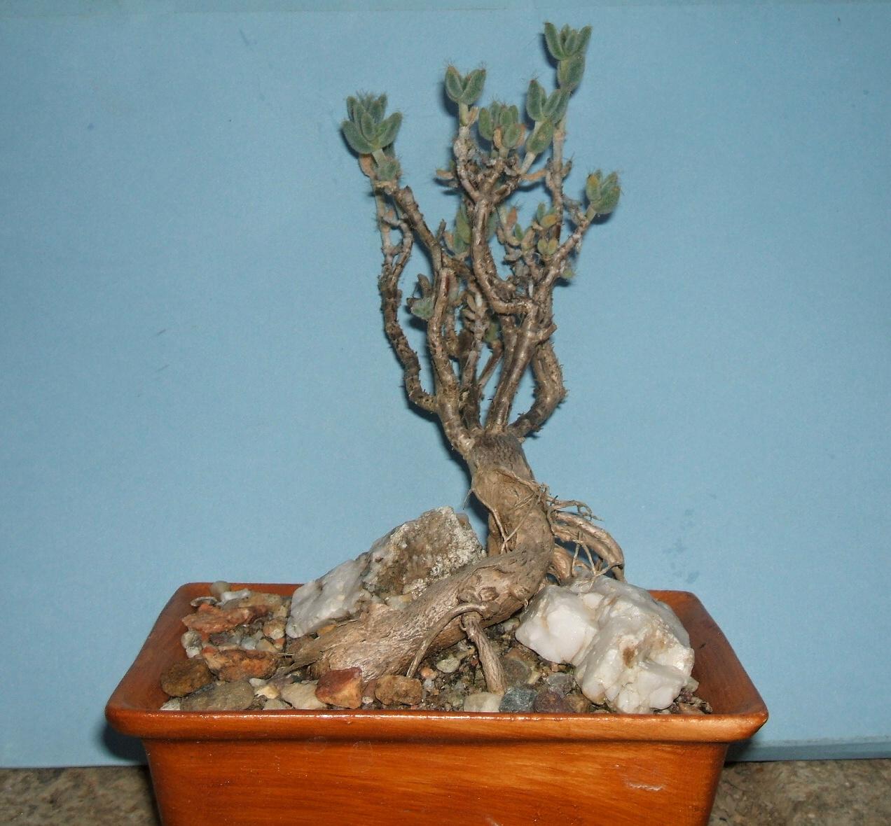 trichodiadema-litllewoodi