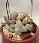 1ffc0ce69620154fc6951b360b818070--adromischus-cacti-and-succulents