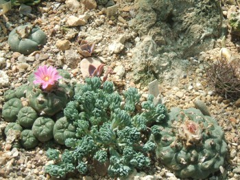 Lophophora wiliamsii