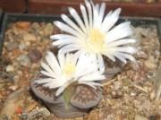 karasmontana ma vždy biele kvety