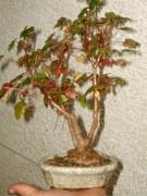 Begonia ako bonsaj