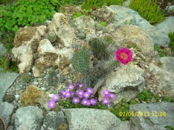 opuntia ursina spolu s delospermou  sp Diamant dollybna skalke v júni..