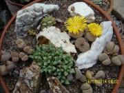 lithops pseudotruncatella