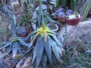 Aloe macracantha ma sprevádzala dobrých 28 rokov