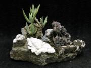sukulentne bonsajskalky