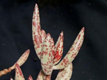 Adromischus sekcia č. 1. adromischus