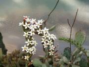 adromischus sp Alen Hart - kvety
