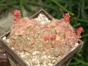 crassula setosa - nova Leolo ( Abel  Erasmus pass)MTS