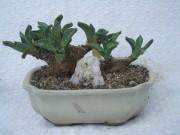nananthus aloides